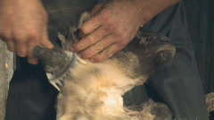 Shearing head of a sheep Stock Footage