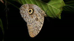 Owl butterfly (Caligo eurilochus) Stock Footage