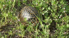 Turtle In The Grass Stock Footage