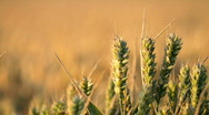 Stock Video Footage of Wheat Field HD