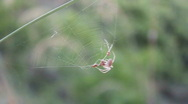 Small Brown Spider Hangs On It's Silk Web Stock Footage