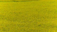 Agriculture, canola field zoom back, #1 Stock Footage