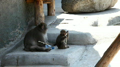 Monkey child in zoo play with bottle Stock Footage