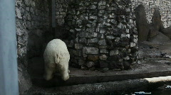 White bear urinate in zoo and walk out Stock Footage