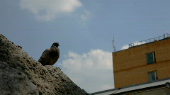 Pigeon on rock,city background Stock Footage