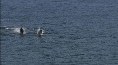 dolphins Beagle channel 3 - stock footage