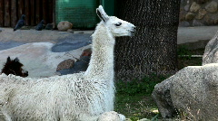 Lama glama feed in zoo Stock Footage