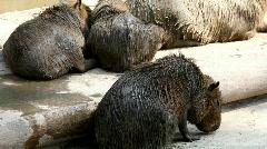 Capibara in zoo - Hydrochoerus hydrochaeris Stock Footage