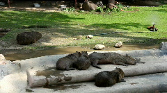 Capibara in zoo sunny day Stock Footage