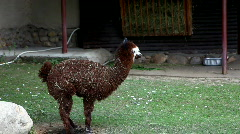 Lama glama walk in zoo Stock Footage