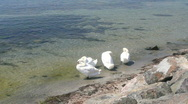 Stock Video Footage of Four White Swans Cleaning
