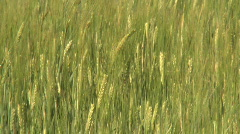 Farmland with Barley, Hordeum vulgar L  ripening in the summer sun in Sweden Stock Footage