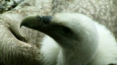Griffon Vulture Stock Footage
