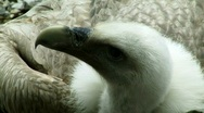 Stock Video Footage of Griffon Vulture