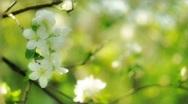 Apple flower Stock Footage