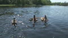 Brown Pelicans 3 Stock Footage
