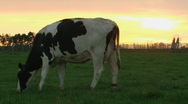 Stock Video Footage of Cow eating grass at sunrise