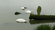 Stock Video Footage of Swans foraging in water