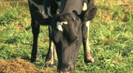 Stock Video Footage of Cow eating grass