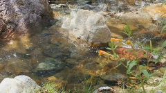 Desert mountain stream with sound under tree with wildflower Penstemon subulatus Stock Footage