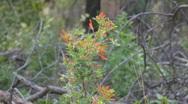 Anisacanthus thurberi – Thurber's Desert Honeysuckle wildflower in the breeze Stock Footage