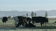 Stock Video Footage of Cows in the moring fog