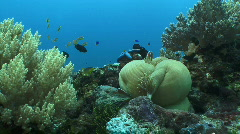 Closed Anemone with clownfish guarding Stock Footage