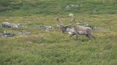 Caribou Migration Bull - stock footage