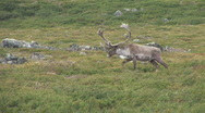 Stock Video Footage of Caribou Migration Bull