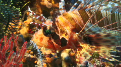 Face and fins of a lion fish Stock Footage