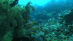 Little swarm of fish traveling through the tropical coral reef Stock Footage