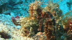 Spiny seahorse (Hippocampus spec) in a tropical coral reef - stock footage
