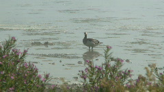 Geese in shallow water Stock Footage