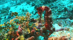 Spiny seahorse (Hippocampus spec) in a tropical coral reef Stock Footage