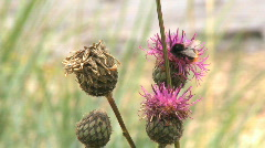 Bumblebee in a Marsh thistle Cirsium palustre Stock Footage