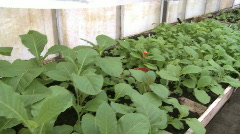 Tobacco plants Stock Footage