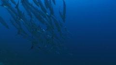 Swarm of Barracuda predatory fish on a coral reef in deep blue water Stock Footage