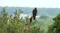 Vulture / Hawk On Perch Over Looking Highway Footage
