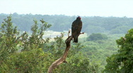 Vulture / Hawk On Perch Over Looking Highway Stock Footage