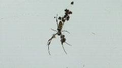 Banana Spiders - Golden Orb-Weaver Stock Footage