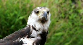 Eagle head close up HD Footage