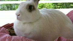 Cottontail   Full HD 1080p Stock Footage