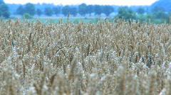 Farmland with harvest ready Wheat, Tritium Aestivum Stock Footage