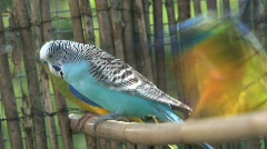 3 parakeets Stock Footage