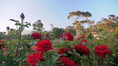 Flowers Rose Garden Red Roses - stock footage