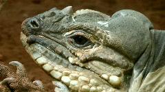 Iguanas Stock Footage