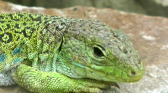 Ocellated Lizard Stock Footage