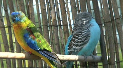 Parakeets and zebra finch Stock Footage