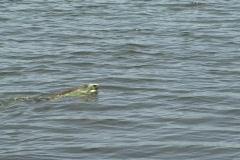 Monster Iguana swimming in lagoon 2 - Pest Stock Footage