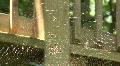Banana Spiders - Golden Orb-Weaver HD Footage